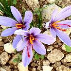 Lilás Crocus Sativus